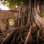 Ruines ancienne prison esclaves détruite temps figuier étrangleur Petit Canal